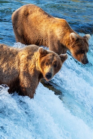 iPhone Wallpaper Two brown bears hunting fish, waterfall, river