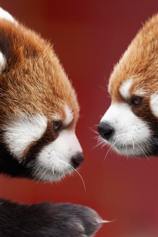 iPhone Wallpaper Two red pandas, face to face