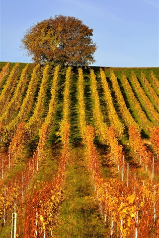 iPhone Wallpaper Vineyard, tree, hills, autumn