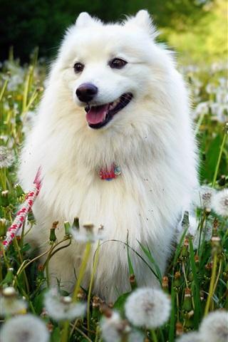 iPhone Wallpaper White dog, dandelions flowers, summer