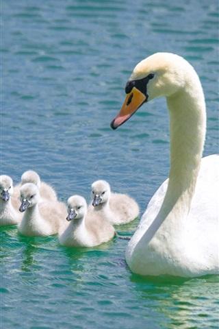 iPhone Wallpaper White swans, family, lake