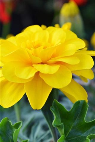 iPhone Wallpaper Yellow flowers close-up, petals, garden