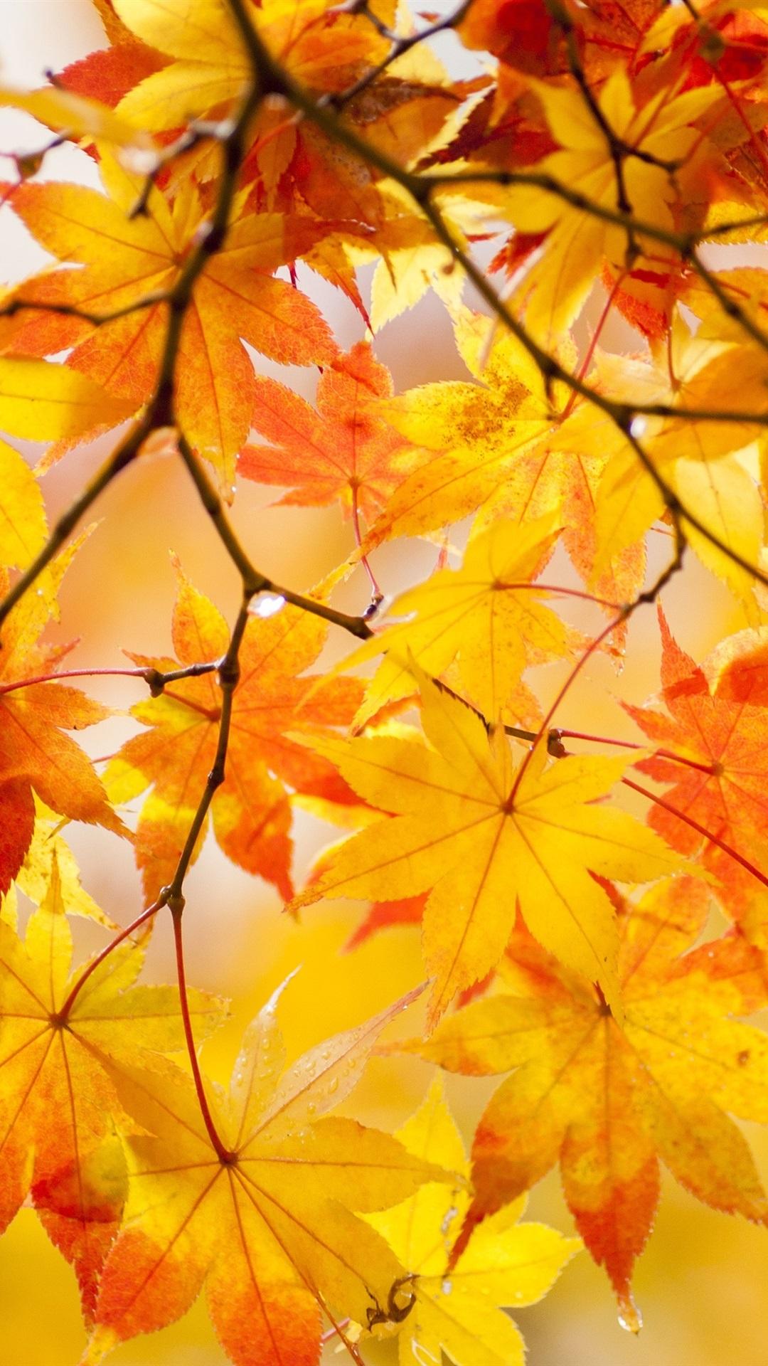 Yellow Maple Leaves Tree Beautiful Autumn 1080x1920 Iphone 8 7 6
