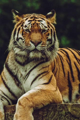 iPhone Wallpaper Amur tiger, predator, rest, stump