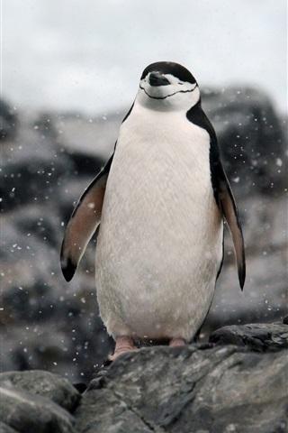 iPhone Wallpaper Antarctica, penguin relaxing, rocks, snow