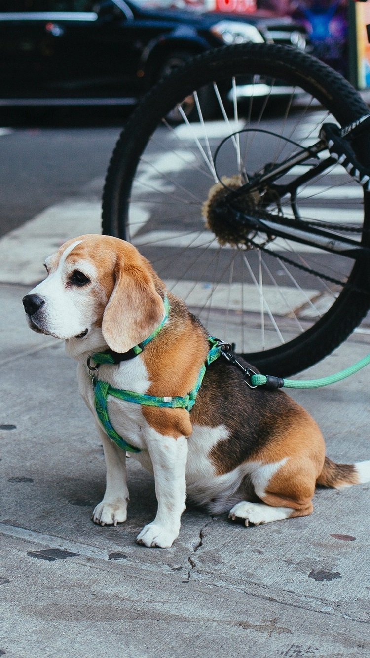 Beagle Puppy Sit On The Ground Street Bicycle 750x1334 Iphone 8 7 6 6s Wallpaper Background Picture Image