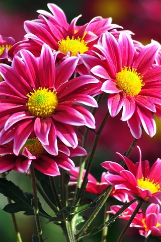 iPhone Wallpaper Beautiful pink chrysanthemums flowers