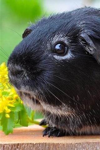 iPhone Wallpaper Black guinea pig, cute pet
