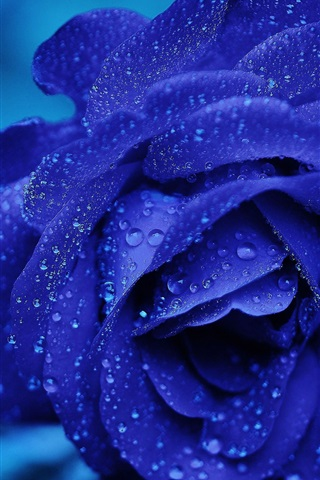 iPhone Wallpaper Blue petals rose flower, water drops