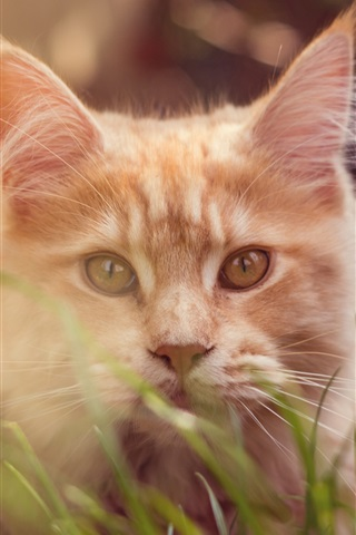 iPhone Wallpaper Brown cat, grass, bokeh