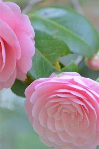 iPhone Wallpaper Camellia, pink flowers, tenderness