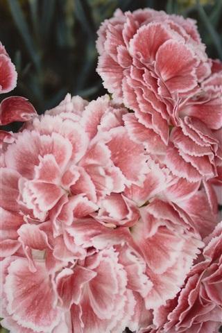 iPhone Wallpaper Carnations flowers, pink petals