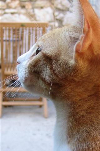 iPhone Wallpaper Cat side view, orange color