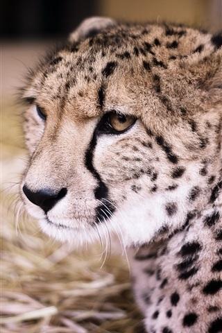 iPhone Wallpaper Cheetah front view, big cat, predator