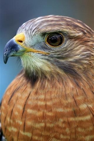iPhone Wallpaper Hawk, face, beak, eyes