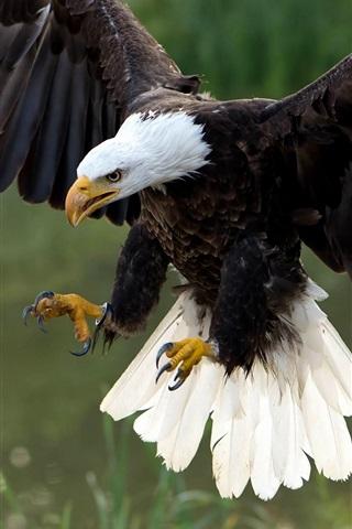 iPhone Wallpaper Hawk flight, wings