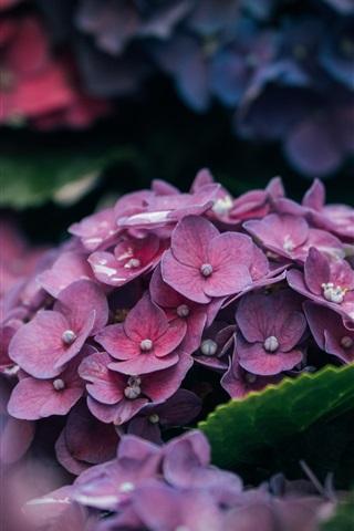 iPhone Wallpaper Hydrangea flowers, pink petals close-up