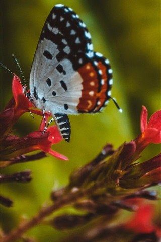 iPhone Wallpaper Insect, butterfly, wings, red flowers