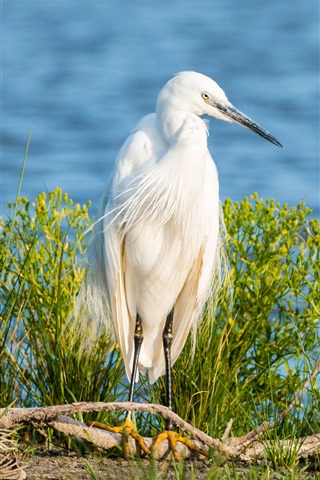 iPhone Wallpaper Little egret, white feathers