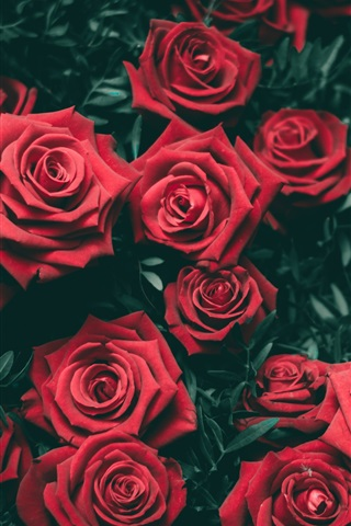 iPhone Wallpaper Many red roses flowers, romantic