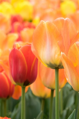 iPhone Wallpaper Orange and red tulips flowers