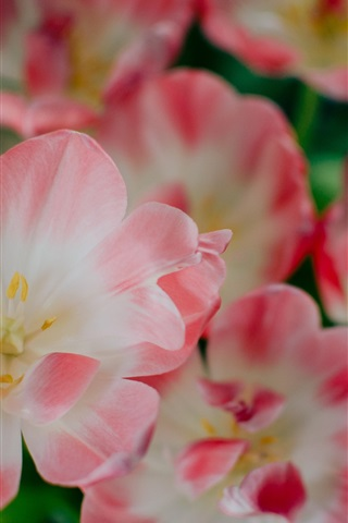 iPhone Wallpaper Pink petals flowers close-up, spring