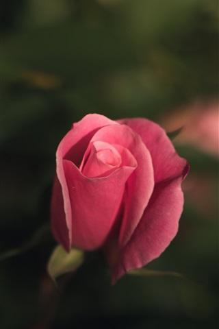 iPhone Wallpaper Pink rose bud, bokeh