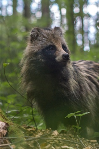 iPhone Wallpaper Raccoon dog, forest