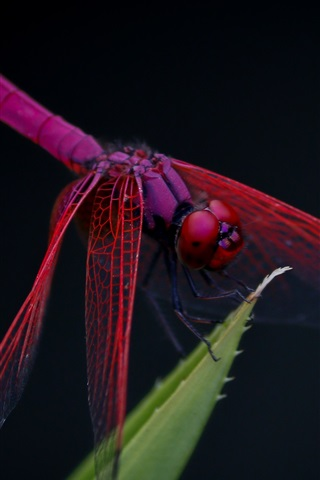 iPhone Wallpaper Red dragonfly, leaf, black background