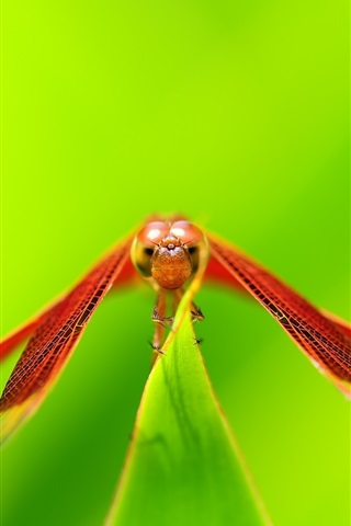 iPhone Wallpaper Red dragonfly rest, wings, green background