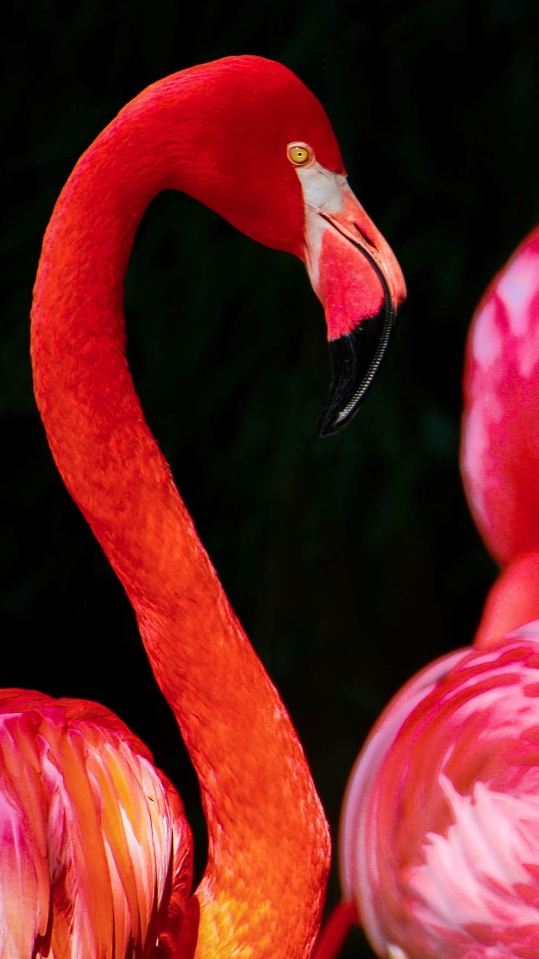 Red Feather Bird Flamingo Black Background 1080x1920