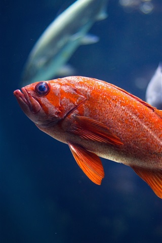 iPhone Wallpaper Red fish, underwater