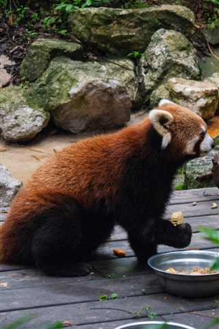 iPhone Wallpaper Red panda, food, zoo