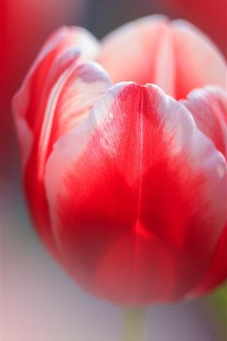 iPhone Wallpaper Red tulip macro photography, bokeh