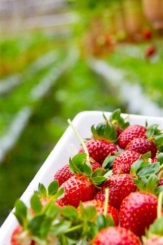 iPhone Wallpaper Strawberry planting garden