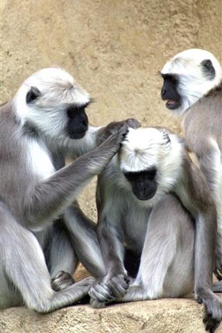 iPhone Wallpaper Three monkeys, zoo
