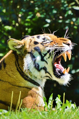 iPhone Обои Улыбка тигра, зубы, трава