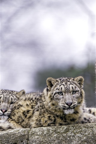 iPhone Wallpaper Two snow leopard, predators, rest