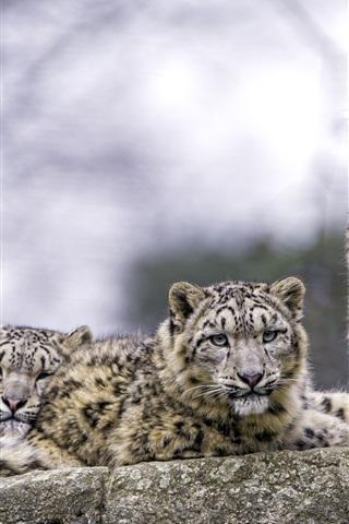 iPhone Wallpaper Two snow leopard, predators, rest