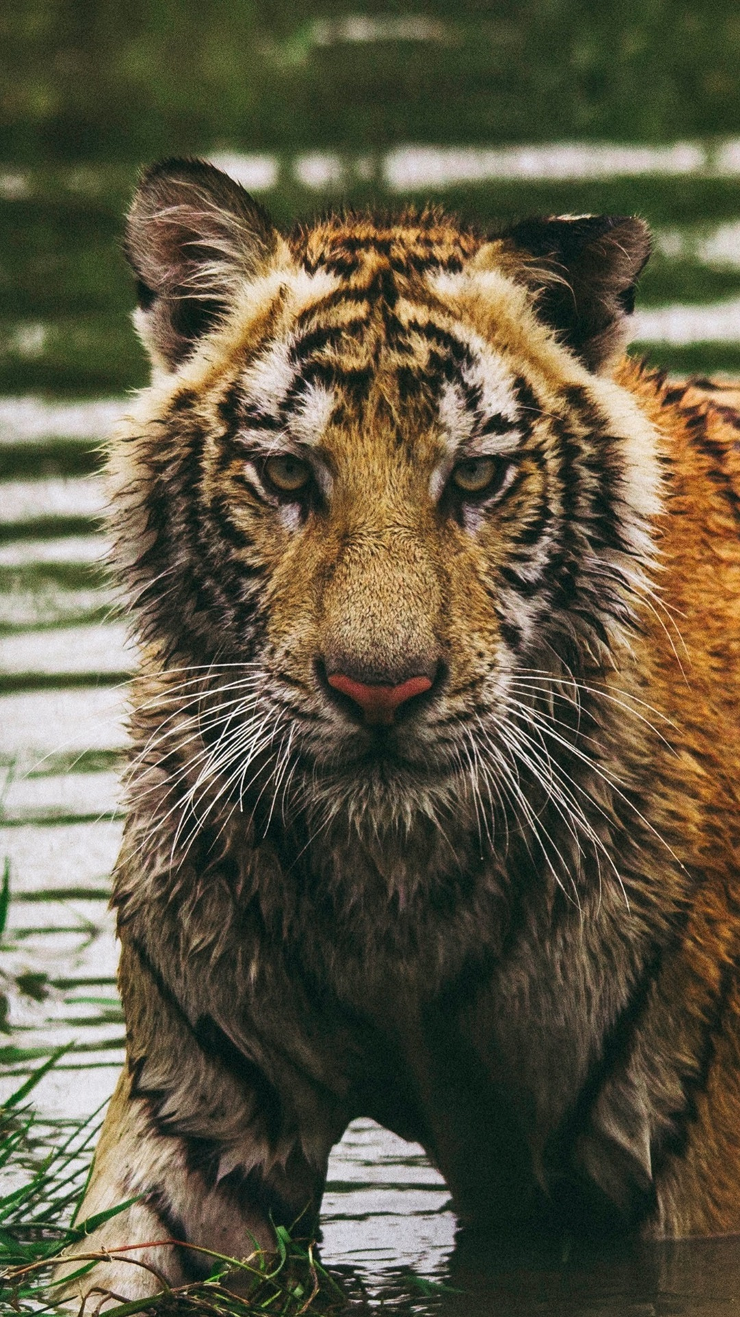 Wet Tiger In Water Look At You 1080x1920 Iphone 8766s Plus