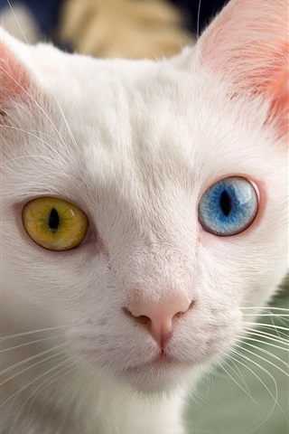 iPhone Wallpaper White cat, face, different color eyes, yellow and blue