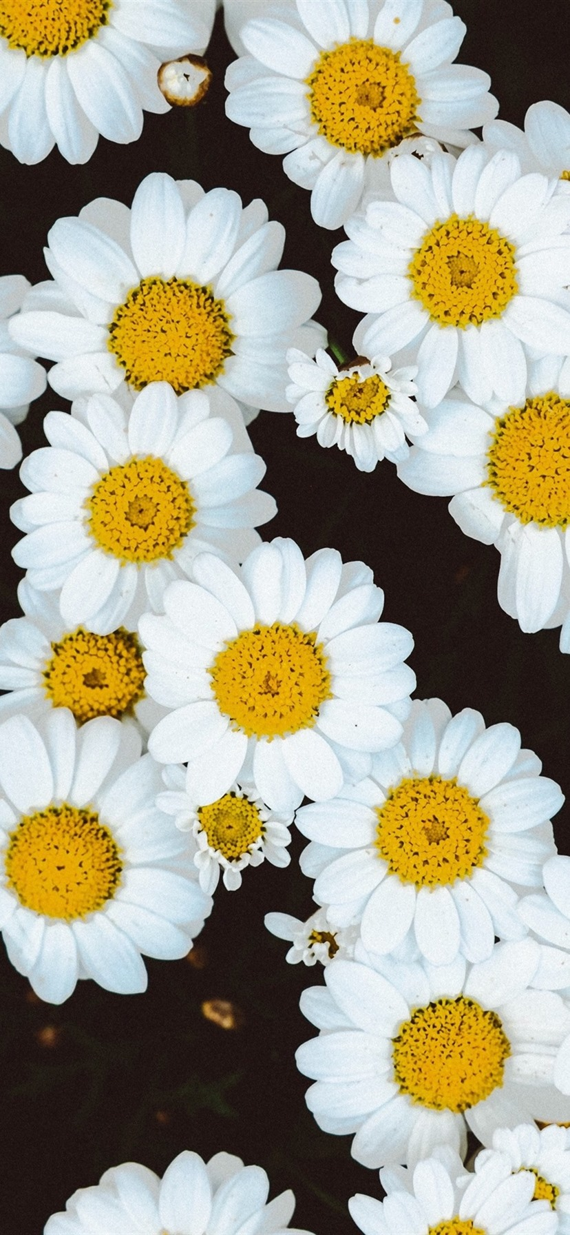 White daisies flowers background 1080x1920 iPhone 8/7/6/6S