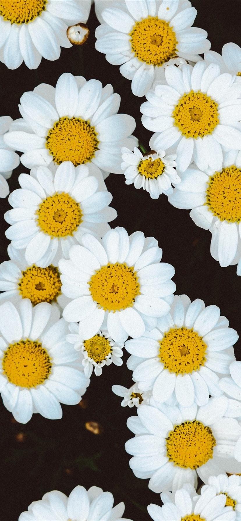 Wallpaper White Daisies Flowers Background 3840x2160 Uhd
