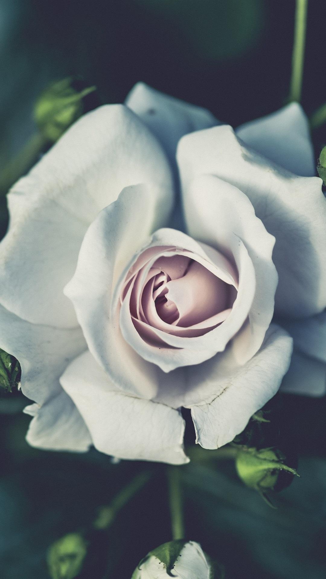 Hintergrundbilder weiße rosen Hintergrundbild Weiße