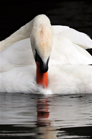 iPhone Wallpaper White swan, water, animal photography