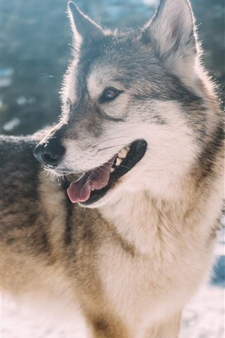 iPhone Wallpaper Wolf look back, snow, winter