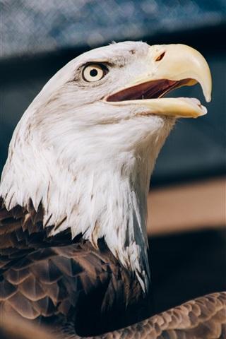 iPhone Wallpaper Bald eagle, head, beak
