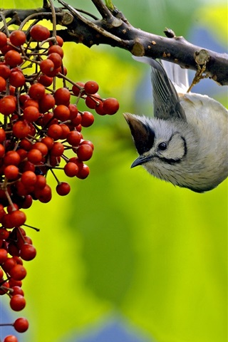 iPhone Wallpaper Bird want to eat berries