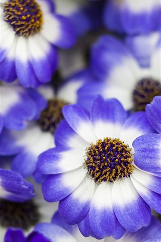 iPhone Wallpaper Blue white petals flowers, spring