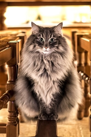 iPhone Wallpaper Cat look, front view, furry